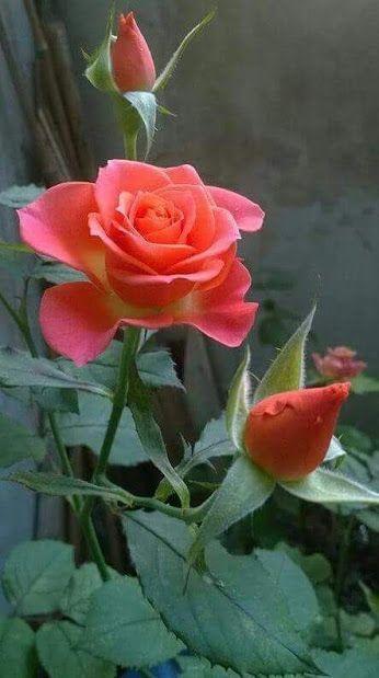 Rosas Hermosas Flores Esculturas Plantas Flores Rosadas