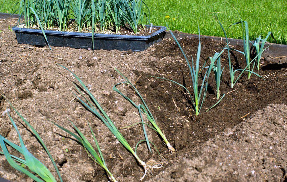 planting leeks Growing leeks, Gardening tips, Plants
