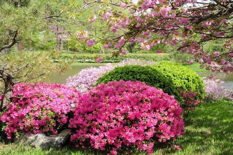 Azalea Bush Evergreen Azalea Flowers Azalea Bush Evergreen Flowers Azalea Azalea Bush Evergreen Flower In 2020 Azalea Flower Azalea Bush Evergreen Flowers