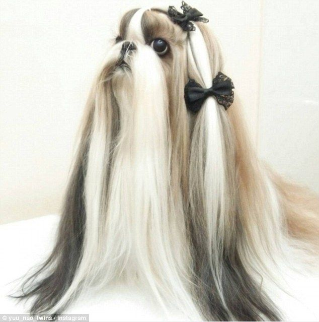 Meet The Twin Shih Tzu Dogs With Better Hair Than You Shih Tzu Long Hair Shih Tzu Haircuts Shih Tzu Grooming