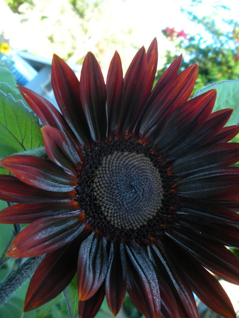 Chocolate Cherry Sunflower Sunflower Garden Gothic