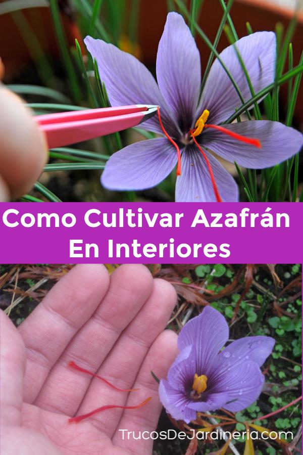 Como Cultivar Azafran En Interiores Trucos De Jardineria Cultivo De Arboles Frutales Jardin De Productos Comestibles