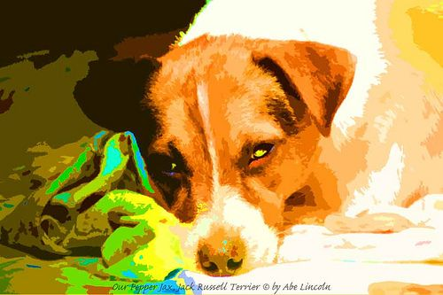 Our Jack Russell Terrier: Pepper Jax, by Abe Lincoln.@jalen~adorable Pepper Jax~!!!