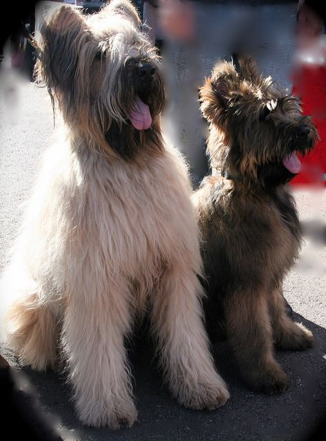 Amazing Briard Dog Girl And Dog Beautiful Dogs