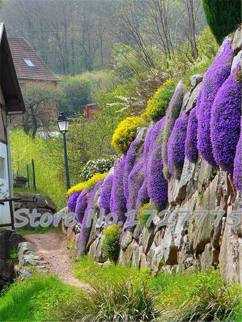 Cress,aubrieta Cascade Purple Flower Seeds, Deer Resistant Superb Perennial Ground  Cover,flower Seeds For Home Garden