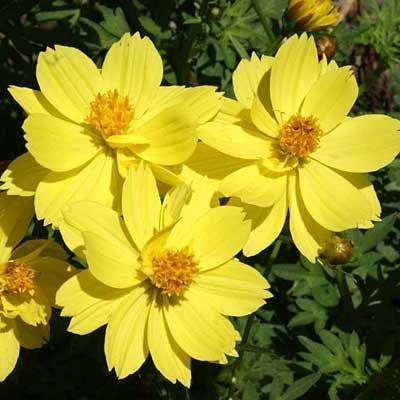 Sulphur Cosmos Seeds Dwarf Lemon Cosmos Plant Flower Seeds Cosmos Flowers
