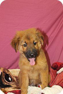 Waldorf Md Rottweiler Chow Chow Mix Meet Fudge A Puppy For