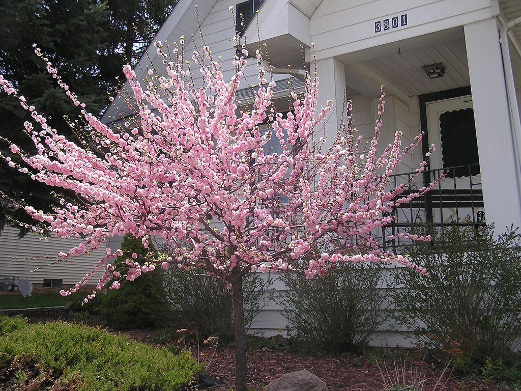 Flowering Almond Trees In Your Yard Rose Trees Almond Tree Front Yard Landscaping
