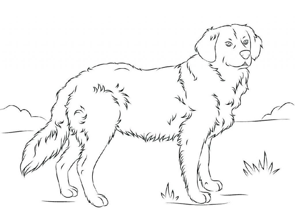 Golden Retriever Coloring Pages