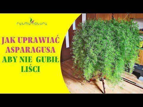 Asparagus Doniczkowy Jak Go Uprawiac Aby Nie Gubil Lisci Youtube Asparagus Herbs Instagram