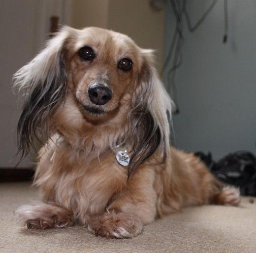 5 Dog Breeds With The Longest Life Expectancy Dog Breeds