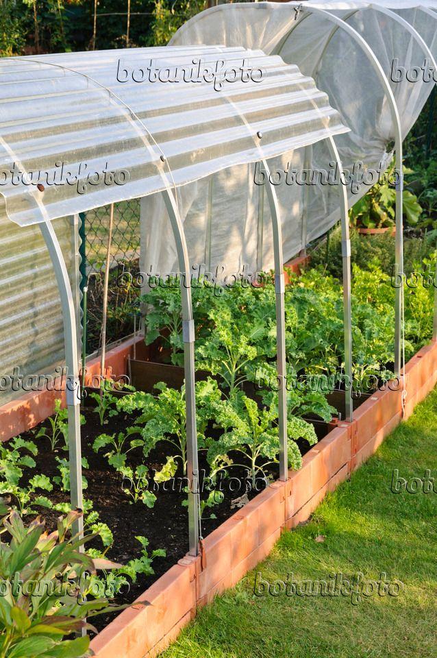 476104 Grunkohl Brassica Oleracea Var Sabellica In Einem Niedrigen Hochbeet Mit Folientunnel Hochbeet Garten Selbstgebautes Gewachshaus