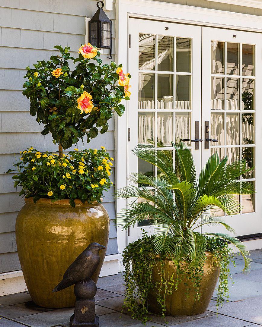 Patio Gardening. Hibiscus Standard, Lantana, Sago Palm, Glazed Ceramic