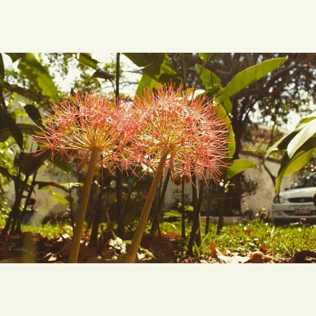 Doble flor de mayo