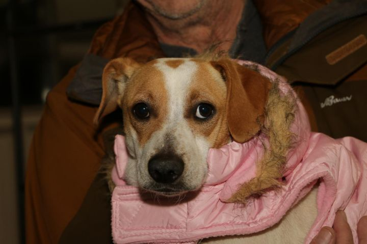 Adopt Whitney On Beagle Mix Puppies Corgi Beagle Mix Pet Adoption