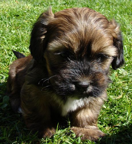 Schweenie Dachshund Shih Tzu Mix Info Puppies Temperament