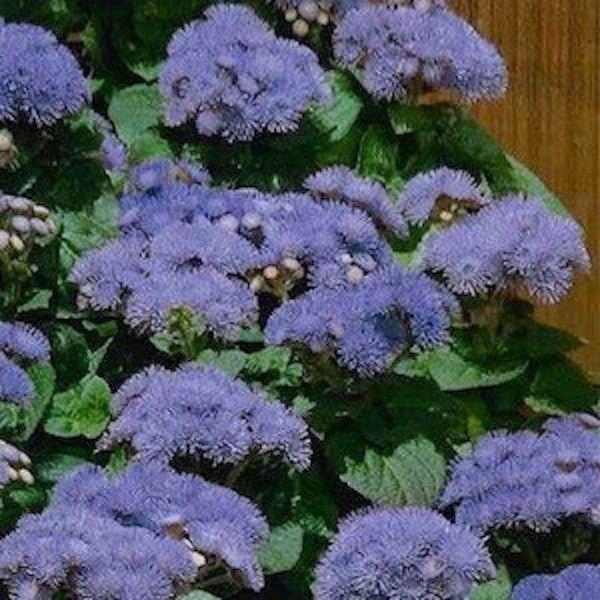 Hawaii 50 Blue Ageratum Dwarf annual flower Huge clusters