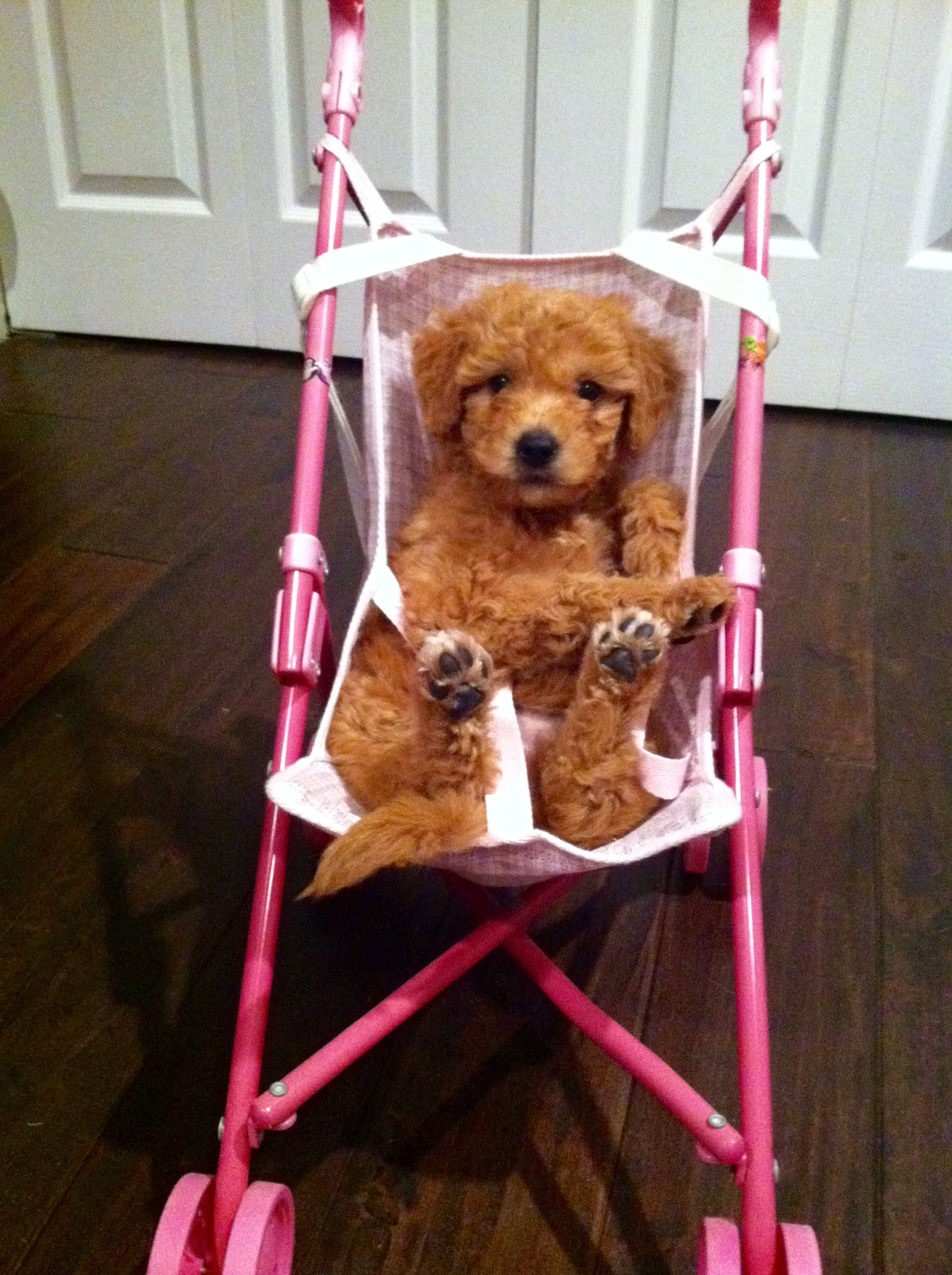 Toy Cavapoo Puppies For Sale Melbourne 2021