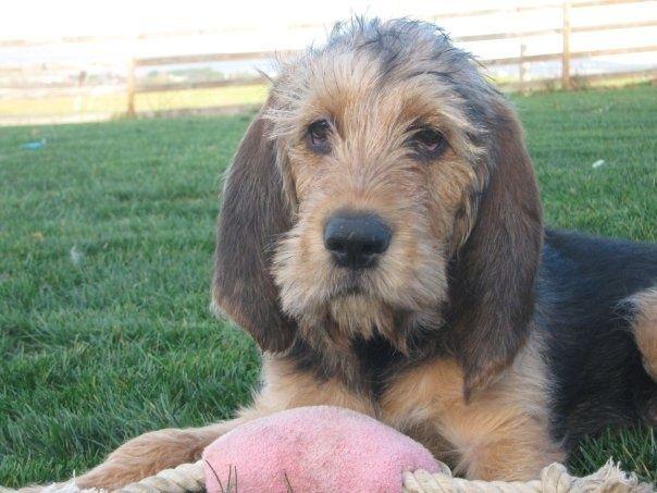 otterhound dog | otterhound