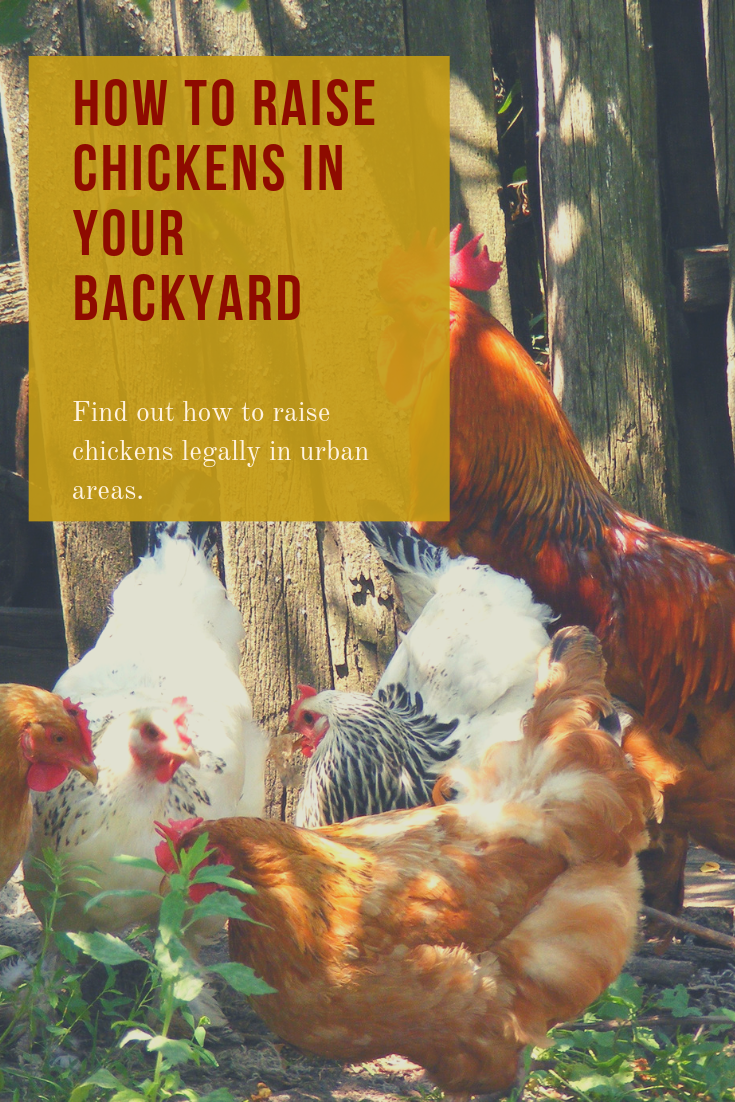 How to Raise Chickens in Your Back Yard | Raising chickens ...