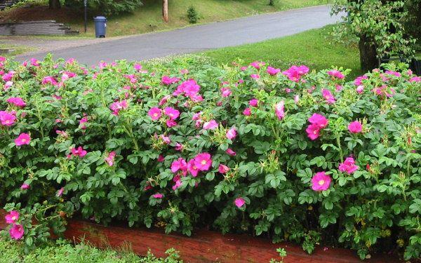 Roza Dzika Rosa Rugosa Pomarszczona Sadzonki Plants Secret Garden Home And Garden
