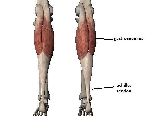 Gastrocnemius Anatomy Anatomy Pinterest Anatomy Gastrocnemius