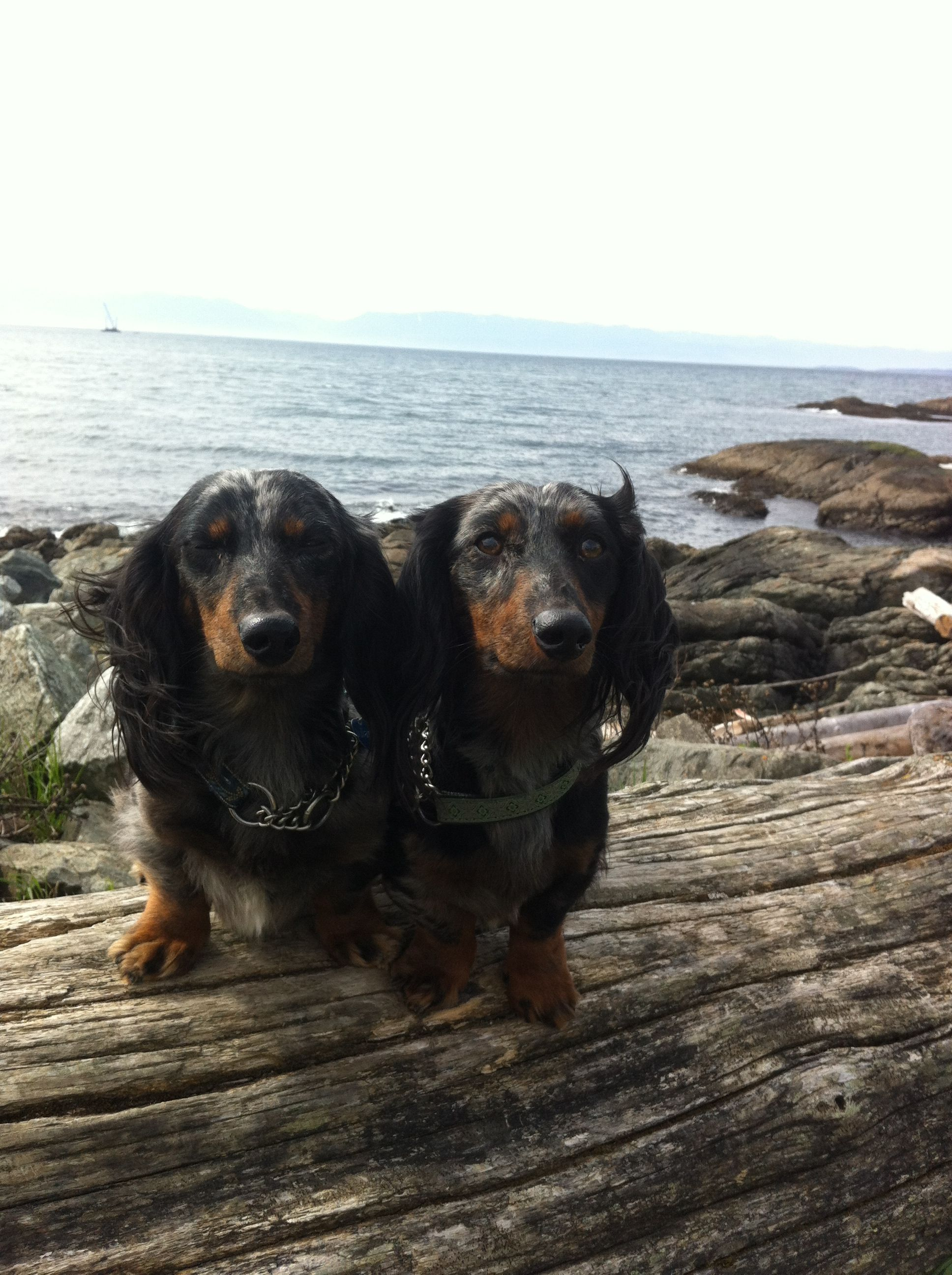 Buddies At The Beach In Victoria Bc Wiener Dog Dog Lovers Dogs