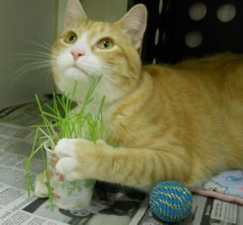 SIMBA is an adoptable Tabby - Orange Cat in Anchorage, AK. Outgoing, inquisitive, and very friendly, this handsome tabby is very interactive. Simba loves any attention, especially playtime. This young...