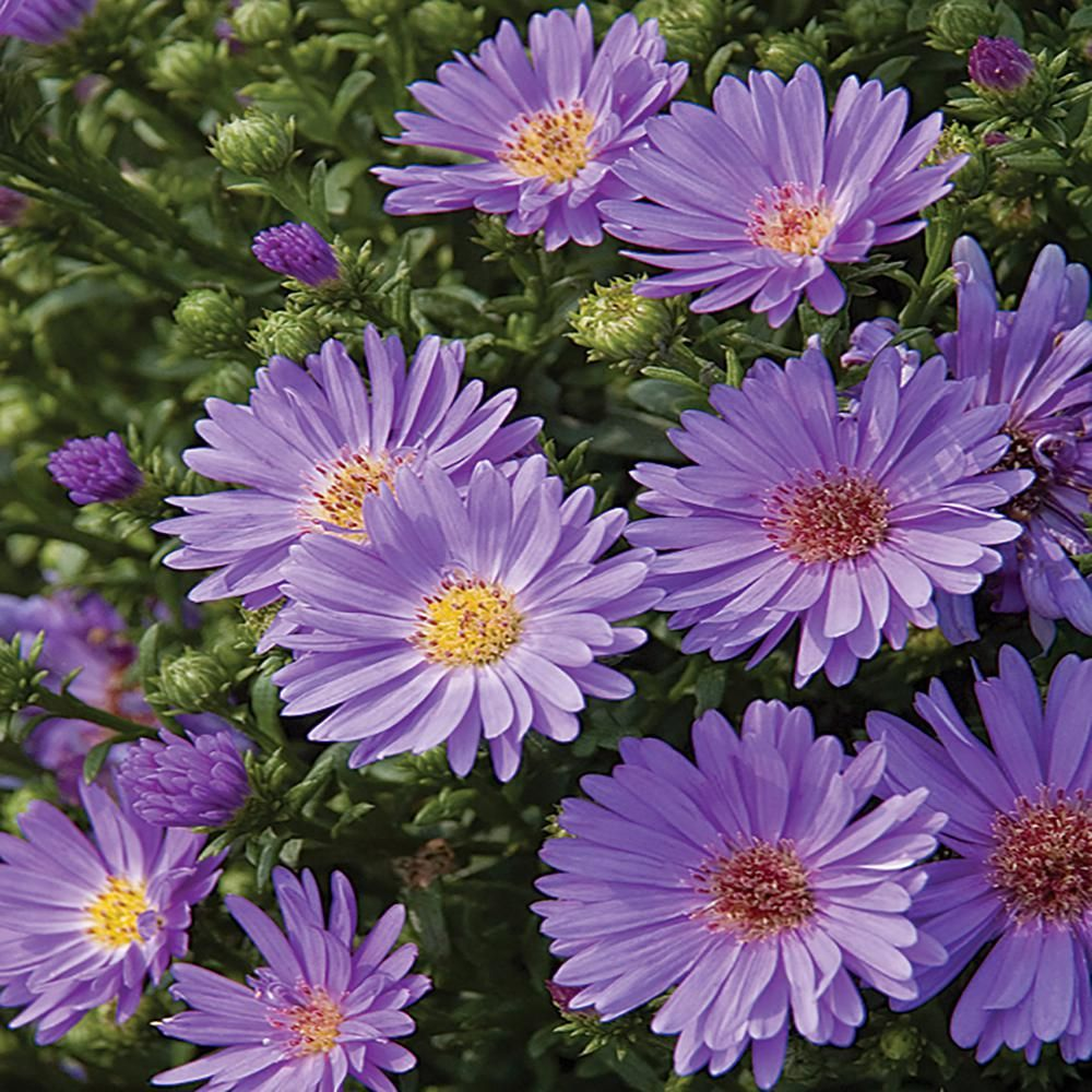 2 5 Qt Days Blue And Purple Aster Plant 21442 The Home Depot In 2020 Blue And Purple Flowers Plants Blue And Purple