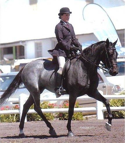 Boerperd Horse - South Africa