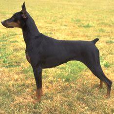 Dog Breeds Types Of Dogs Doberman Dogs Doberman Doberman