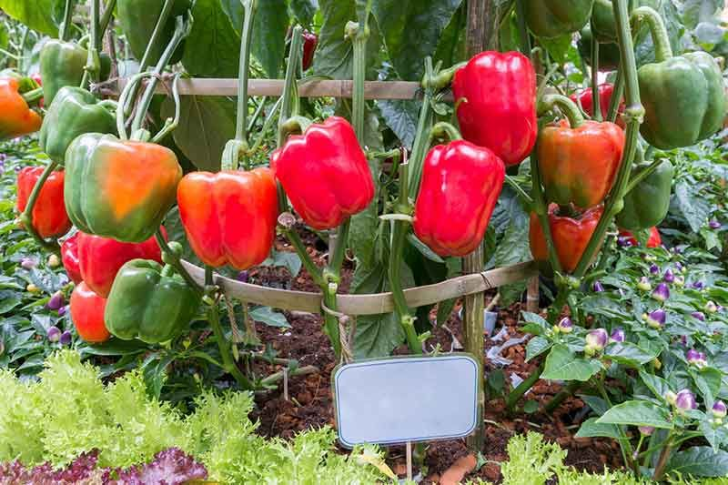 Growing your own bell peppers easy vegetables to grow
