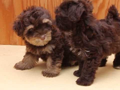 Www Havaneseteddybears Com Chocolate Havanese Available In Berkeley Ca Havanese Puppies For Sale Havanese Puppies Havanese