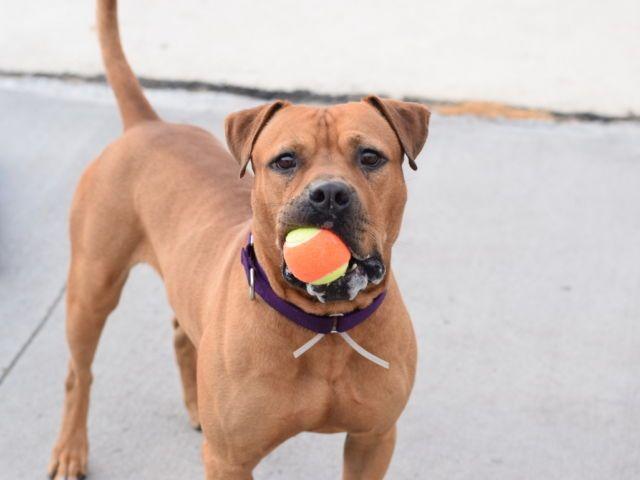 SAINT A1087925 Dog adoption, Foster dog, Pet life