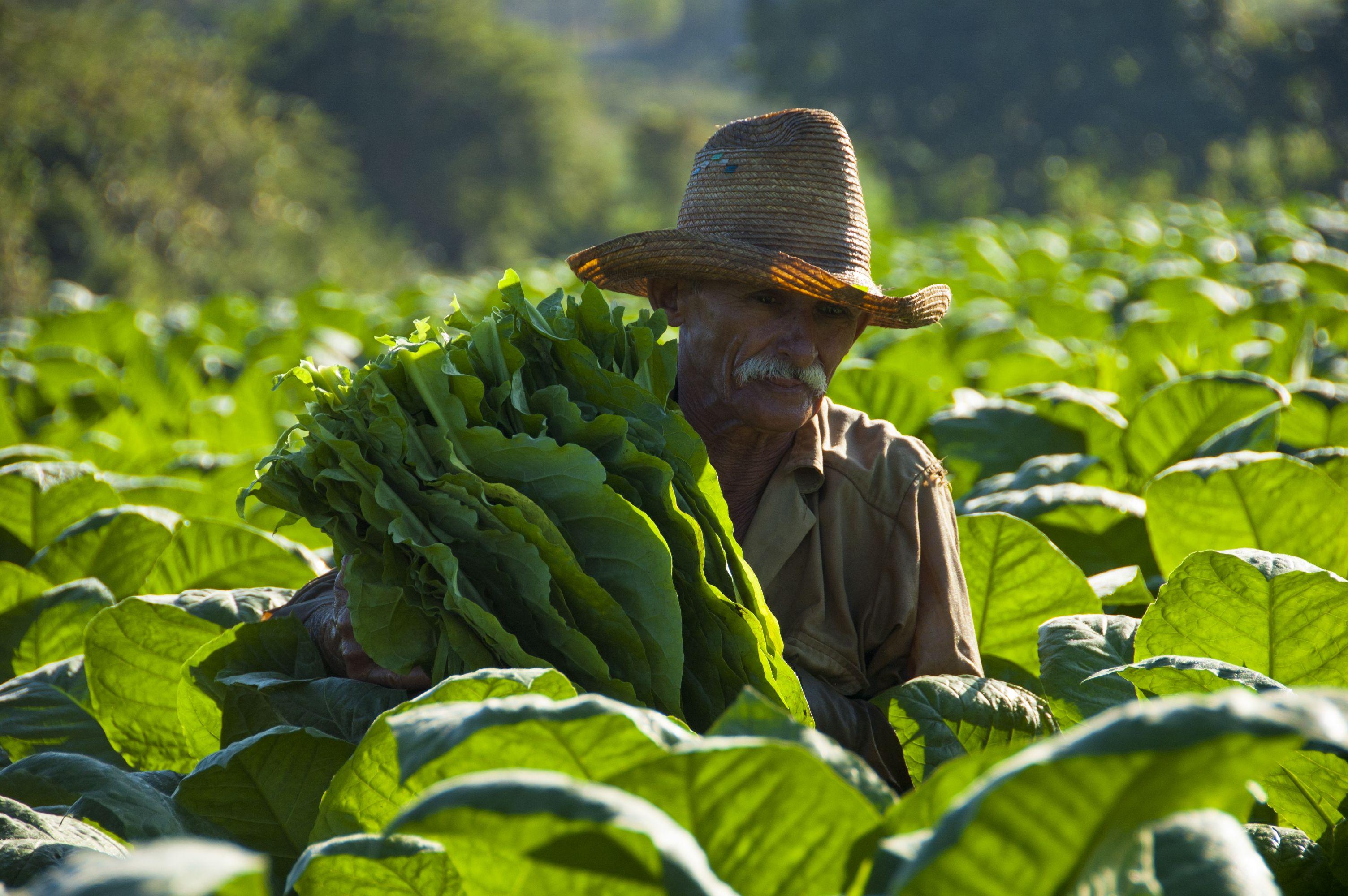 Cosecha a mano, Tabaco, Vinales, Cuba