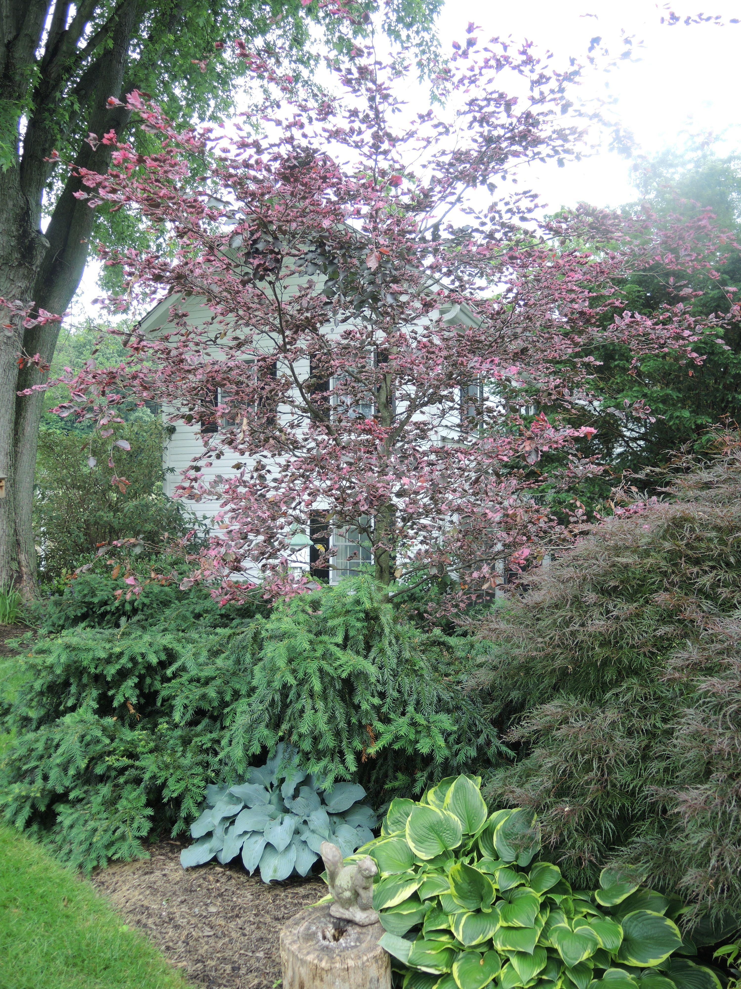 Tricolor Beech | Ayars Portfolio | Pinterest | Gardens