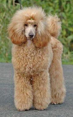 Apricot Show Poodle Standard Poodle Poodle Hair Poodle