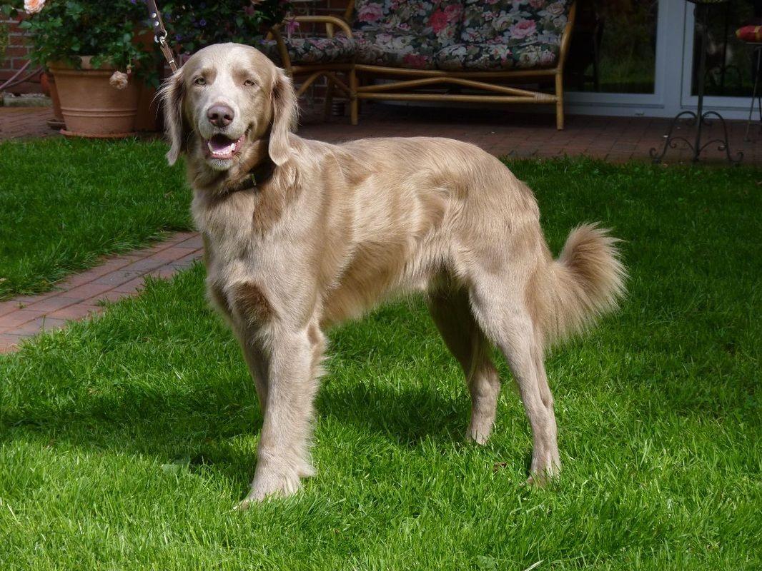 Weimaraner Langhaar Long Haired Weimaraner Weimaraner Dogs