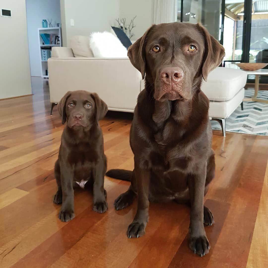 Thinkpup Shop In 2020 Chocolate Lab Puppies Labrador Dog Lab