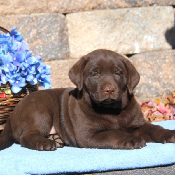 Peaches Greenfield Puppies Miniature Goldendoodle Puppies Greenfield Puppies Labrador Retriever Puppies