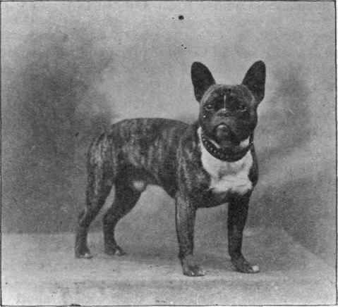 French Toy Bulldog Barkston Billie Owned By Mrs Townsend Green