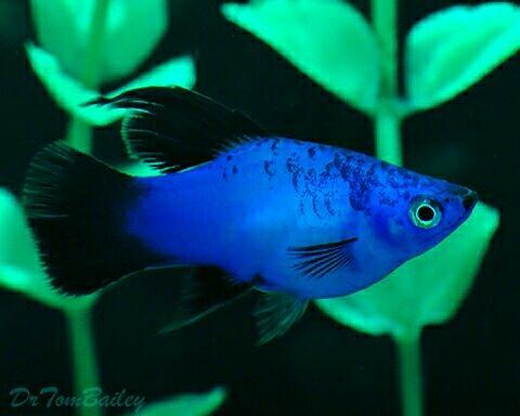 Blue Platy Aquarium Fish Tank Tropical Fish Aquarium Aquarium Fish