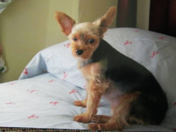 LOST DOG FEMALE YORKIE (Elmhurst, Queens) since May 15th