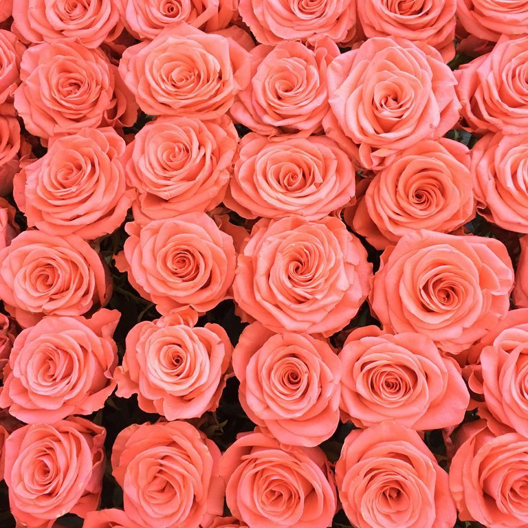 Discover the Meanings Behind 13 Rose Colors Rose color