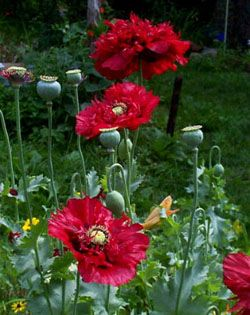 Growing Poppy Plants