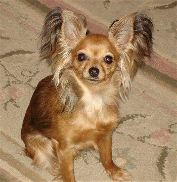 Toy fox terrier Rat terrier dogs, Toy fox terriers, Pet rats