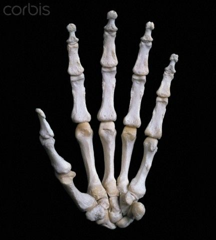Left Hand Skeleton Palmar Surface View Of The Bones Of The Human