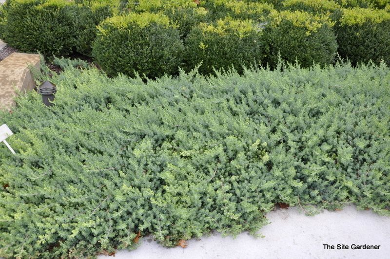 Juniperus Conferta Blue Pacific Hess Landscape Nursery