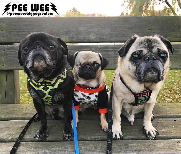 Pee Wee The Pug Heals From A Ruptured Eye And Finds His Forever