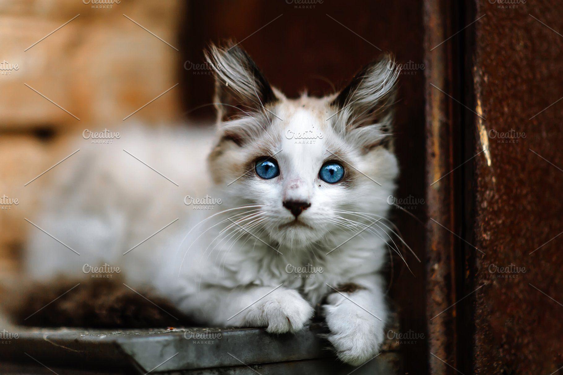 Homeless Grimy Little White Kitten Cat With Blue Eyes White Kittens Cat Portraits